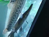X2 20 inch florida gars and x2 18 inch spotted gars �0 for the 4
