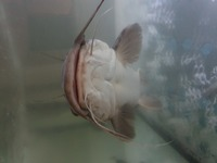 24 inch wide head south africa catfish �0