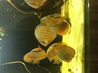 8 Wild Caught Discus