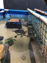 WEST MIDLANDS 3 ADULT YELLOW BELLIED TURTLES / TERRAPIN FOR SALE