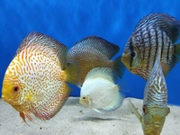 Stunning Group of Discus