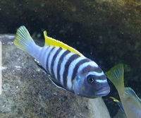 Malawi cichlid Mbuna wild and F1 stock - Prices reduced