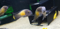 Tropheus Kasakalawe Breeding Group ALL SOLD NOW
