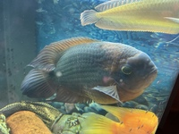 Silver Arowana and Chocolate Cichlid FOR SALE