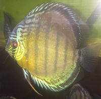 8 x Wild caught Rio nanay red spotted discus