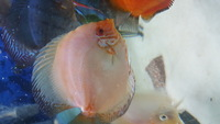 Various Discus for sale, 7 inch down to 3 inch over 20