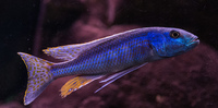 Champsochromis caeruleus inches Malawi Trout inches Birmingham
