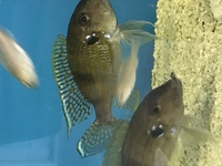 Gnathochromis permaxillaris f1 All Sold