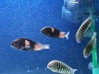 Various Wild Caught Tropheus for sale