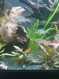 Geophagus Red Head Topajo Juveniles for sale