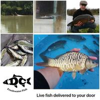 POND FISH KOI CARP AND OTHER NATIVE FISH AVAILABLE FOR DELIVERY