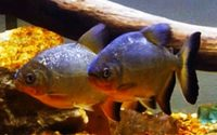 "2x10"" red bellied pacu"