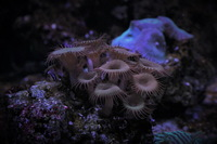 Brown Button Polyp Coral (with attached live rock)