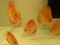 DISCUS FOR SALE, SOME AS LOW AS �.95