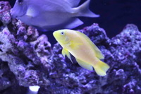 Yellow Dottyback For Sale (Marine Fish)
