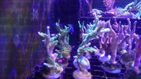 Coral Frags - various Montis plus Kenya trees - Crawley