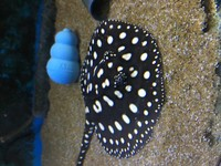 Black Diamond Stingray male pups for sale - last few