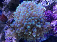 Green tip Bubble Anenome