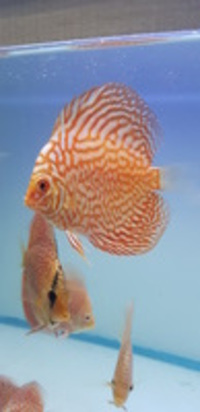 Asian discus from �