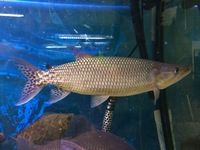 FOR SALE. VULTURE CATFISH, AFRICAN PIKE, FLAGTAIL CHARACIN.