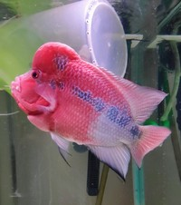 8+ inches Super red Flowerhorn cichlid live fish �