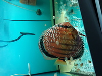 Wild Iripixi Royal F1 Discus For Sale