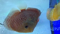 Variety of discus for sale