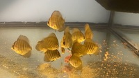 Super red flame juvenile Discus Fish for sale, North Wales �