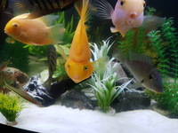 Severum, blood parrot, spilurus, urau,