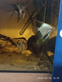 1 x Pigeon Blood Discus 3 inch & 5 x Angelfish(P.scalare) 3 inch long, 4 inch tallin in Leeds