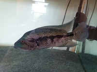 Dovii Male 8-9 inches for sale