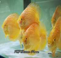 Discus Studio Top Quality Discus and Related Products