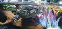 Common snapping turtle and full setup for sale ono