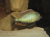 Lethrinops Chilingali (extinct in the wild) malawi cichlids