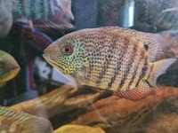 Central & South American Cichlids for sale