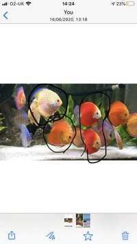 Chens discus for sale