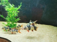 6 xlarge - large clown loaches for sale 10-11inch