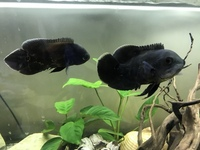 Tiger Oscars And Redtail catfish