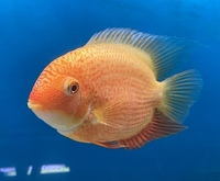 LARGE RED SPOTTED SEVERUM STUNNER �. AT CHILTON AQUATICS
