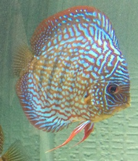 5x Discus for sale