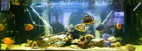 tropical fish, sevs, loaches, cichlids