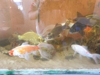 25x 6 inches to 12 inches Golden Carp and long fin goldfish � each to clear