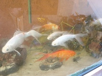 Job lot of 20+ 6 - 12 inches Mirror Carp and long fin goldfish �