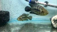 F1 Breeding pair Jaguar Cichlids