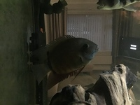 2 green Severums For sale
