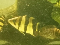 Datnoid tiger fish