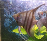 Various Angelfish & Discus for sale in Leeds