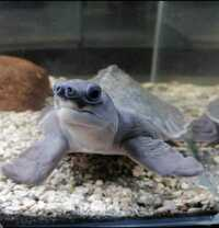 Fly River Turtles For Sale Reliable Outlet