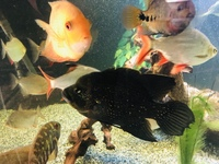 South & Central American cichlid