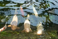 Various Quality Koi for Sale